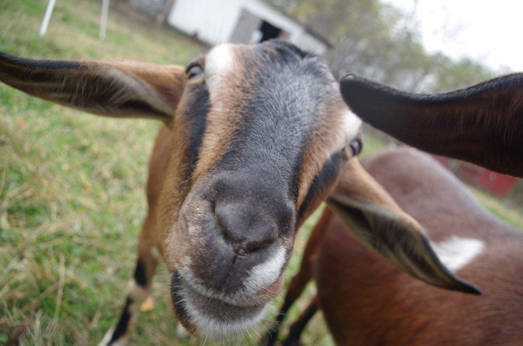 Happy Birthday Goats!